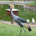 Grue couronnée grise - Afrique – Jardin des Bêtes