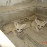 Bébés Fennecs – Jardin des Bêtes