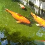 Carpe Koï - Japon – Jardin des Bêtes
