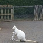 Wallaby blanc – Jardin des Bêtes