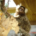 Ouistiti – Jardin des Bêtes
