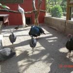 Pintade vulturine - Afrique – Jardin des Bêtes