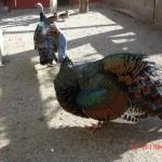 Dindon océllé - Guatemala – Jardin des Bêtes