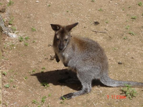 Wallaby – Jardin des Bêtes