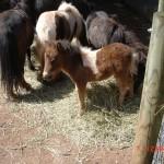 Falabella – Jardin des Bêtes