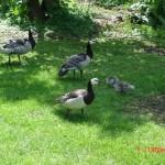 Bernache nonette - Iles Arctiques – Jardin des Bêtes