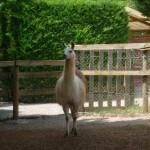 Lama – Jardin des Bêtes