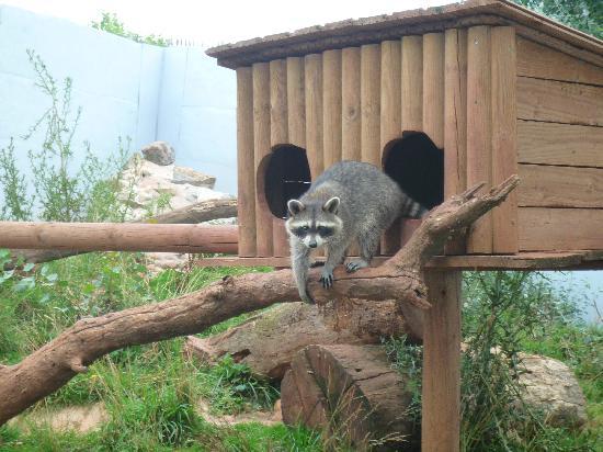 Ratons laveurs – Jardin des Bêtes