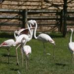 Flamant rose – Jardin des Bêtes