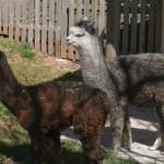 Alpaga – Jardin des Bêtes
