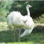 Nandou blanc – Jardin des Bêtes