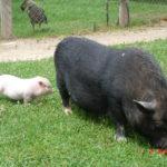 Truie avec petits – Jardin des Bêtes